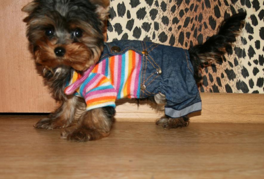 Йоркширский терьер мини фото взрослой собаки