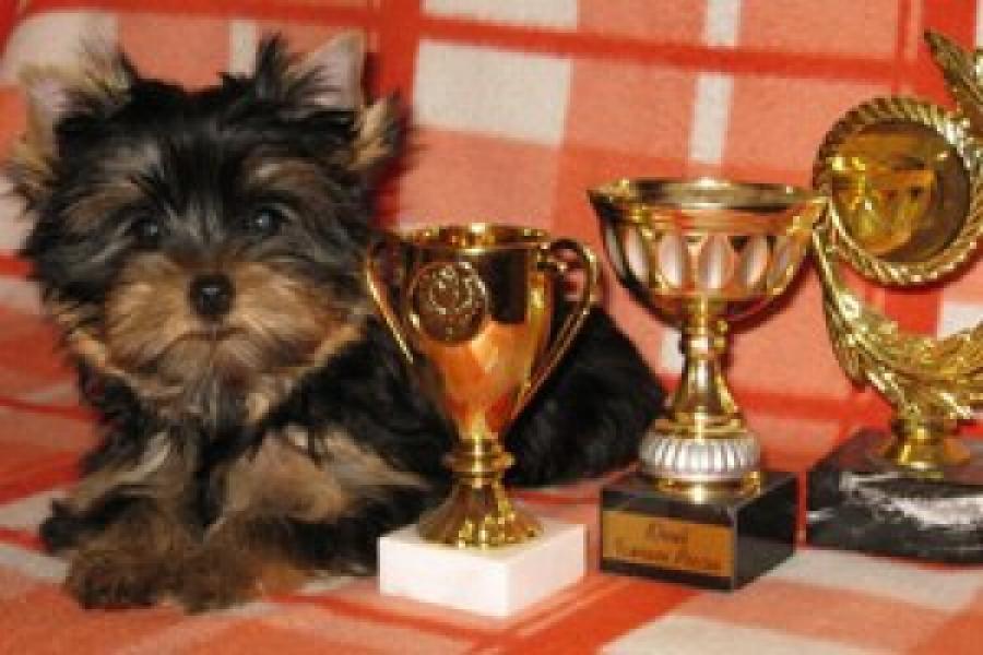 Срочно продается щенок йоркширского терьера цена